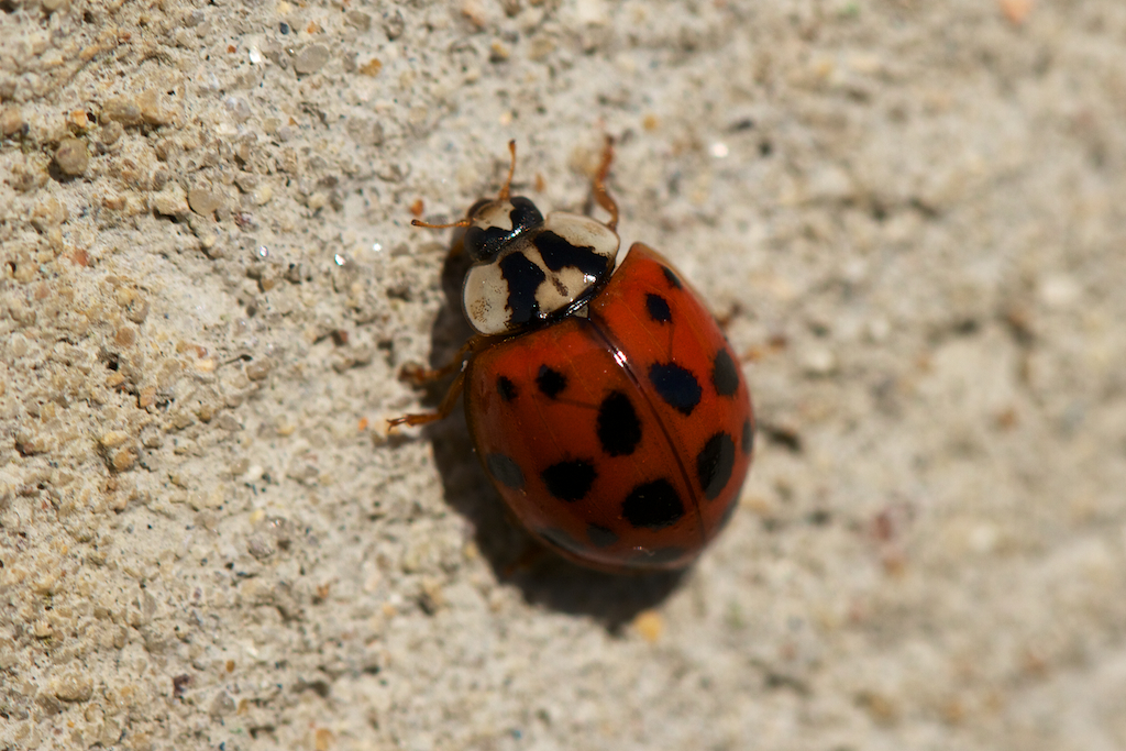 Ladybird beetle on outside greenhouse