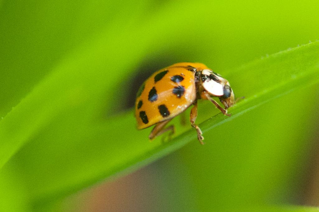 Ladybird beetle scarfing up tiny aphids in the greenhouse