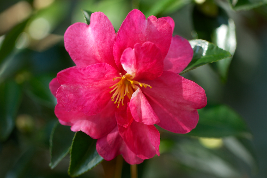 Red Camellia sasanqua