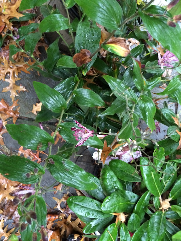 A new Toad Lily