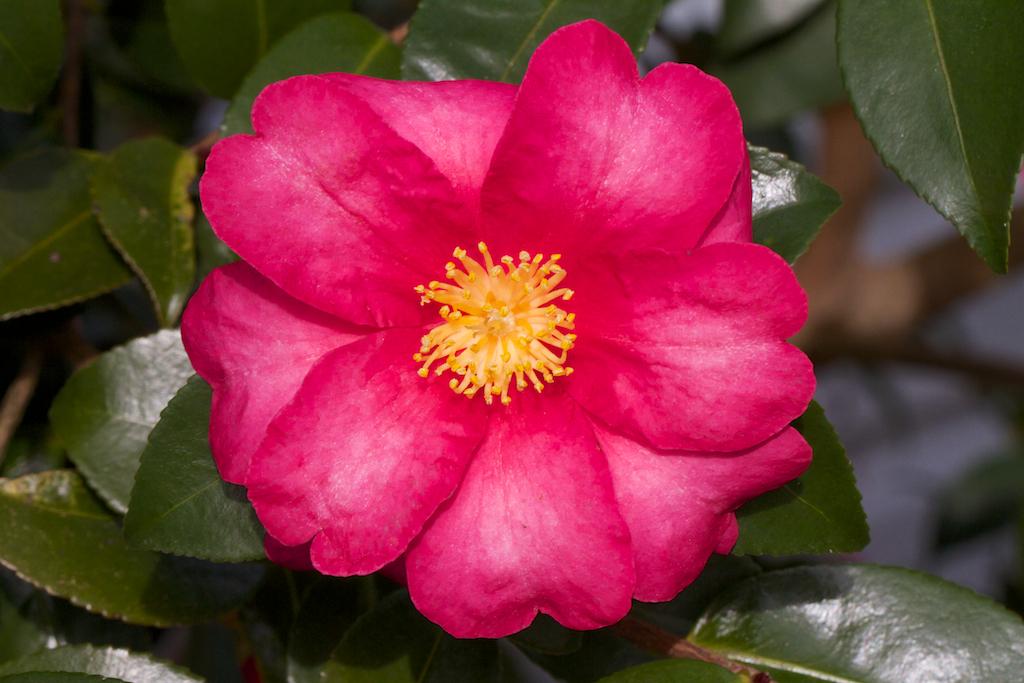 Camellia sasanqua - red
