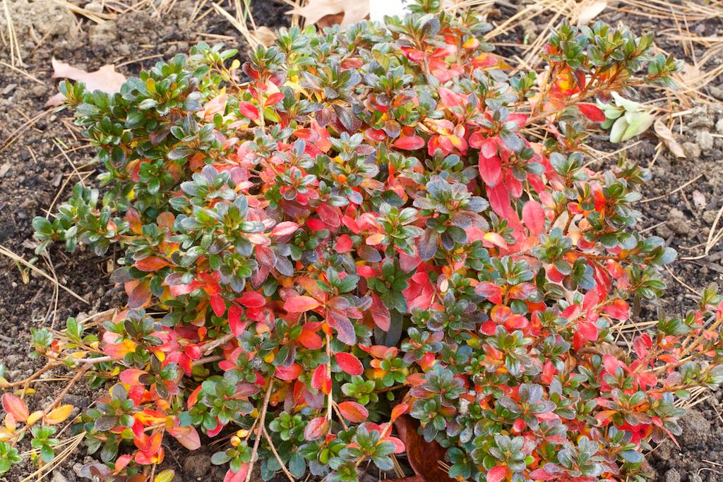 Rhododendron nakaharai 'Pink ES'