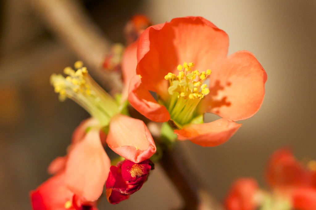 Japanese Quince (forced)