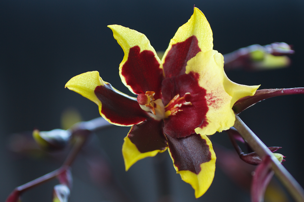 Yellow Orchid with Red Markings