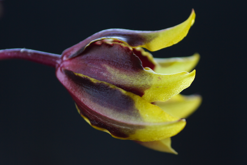 Yellow-red Orchid in bud