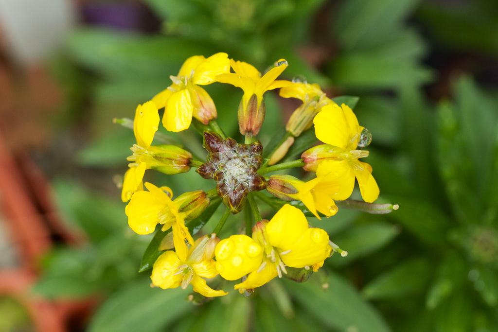 Yellow Arabis