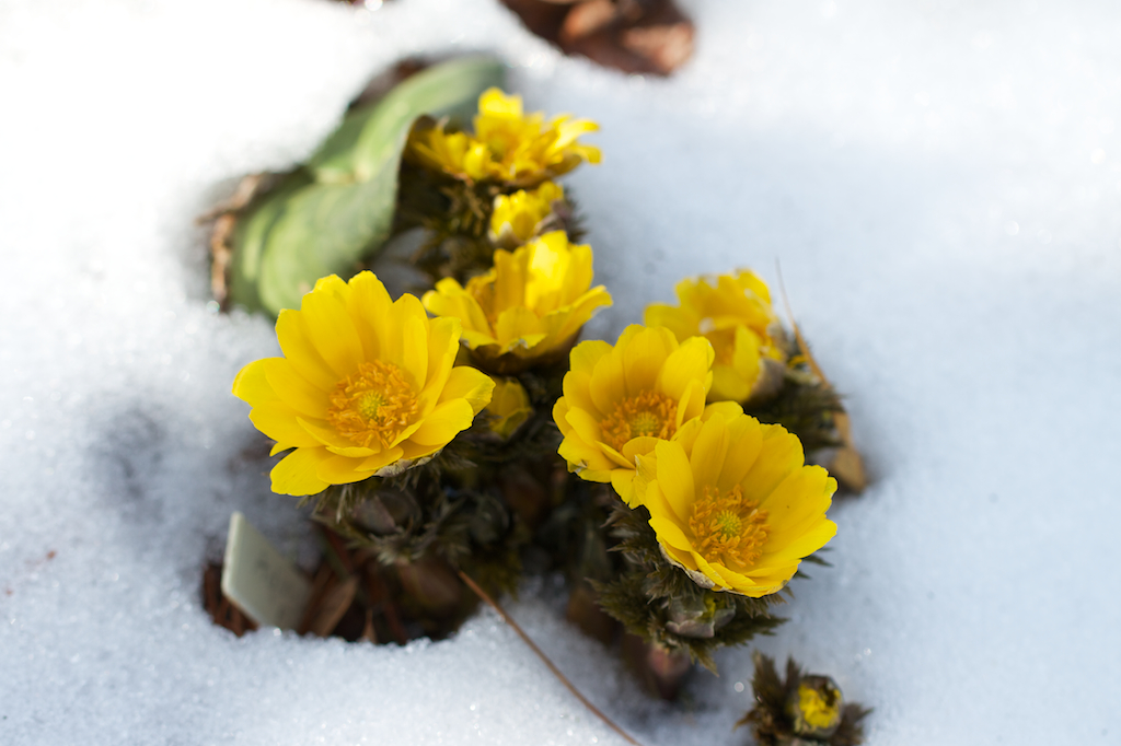 Adonis amurensis 'Fukujukai' in the snow