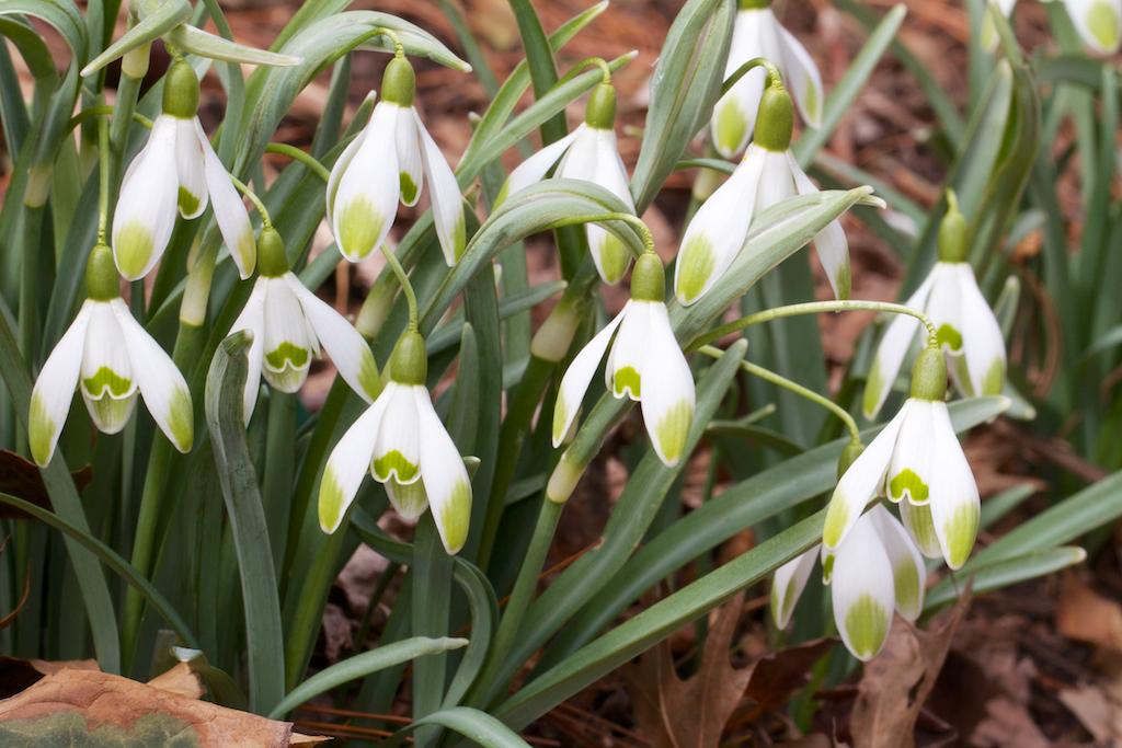 Galanthus nivalis 'Viridi-apice'
