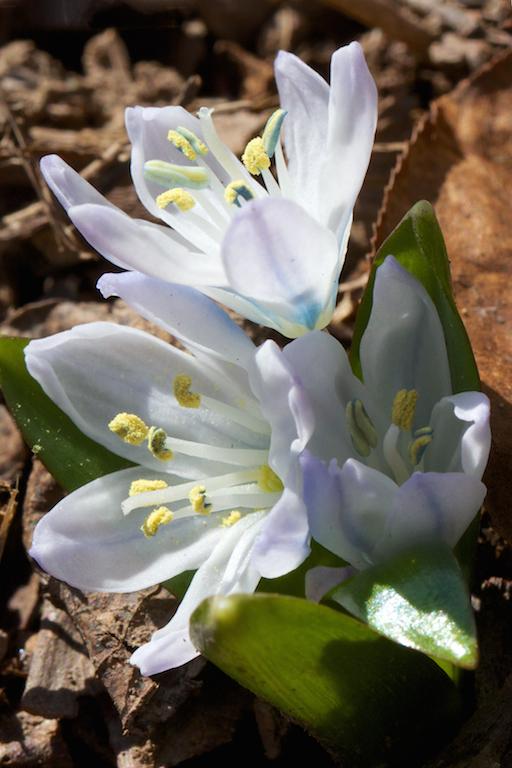 Pushkinia scilloides v. libanotica