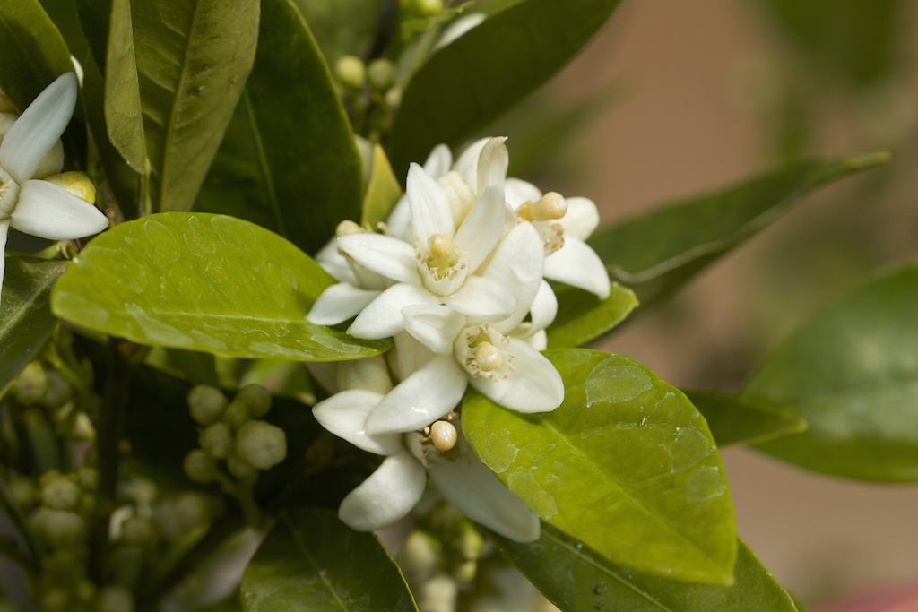 Washington Navel Orange is covered in flowers