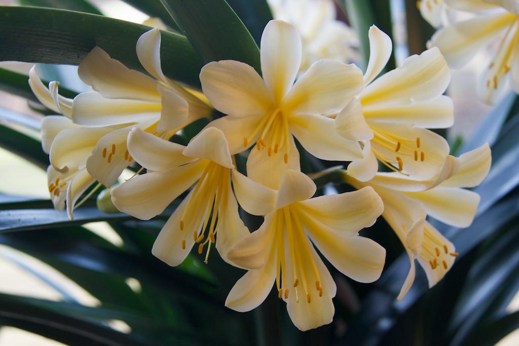 Yellow Clivia (Clivia Miniata)