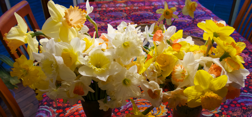 A harvest of daffodils