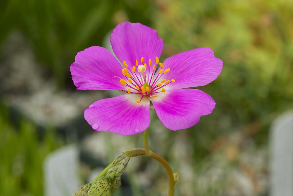 Calandrinia spectabilis