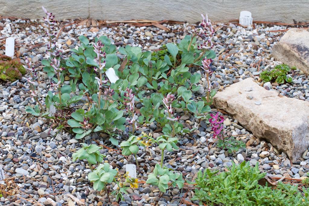 Corydalis ledbouriana & Corydalis caucasica