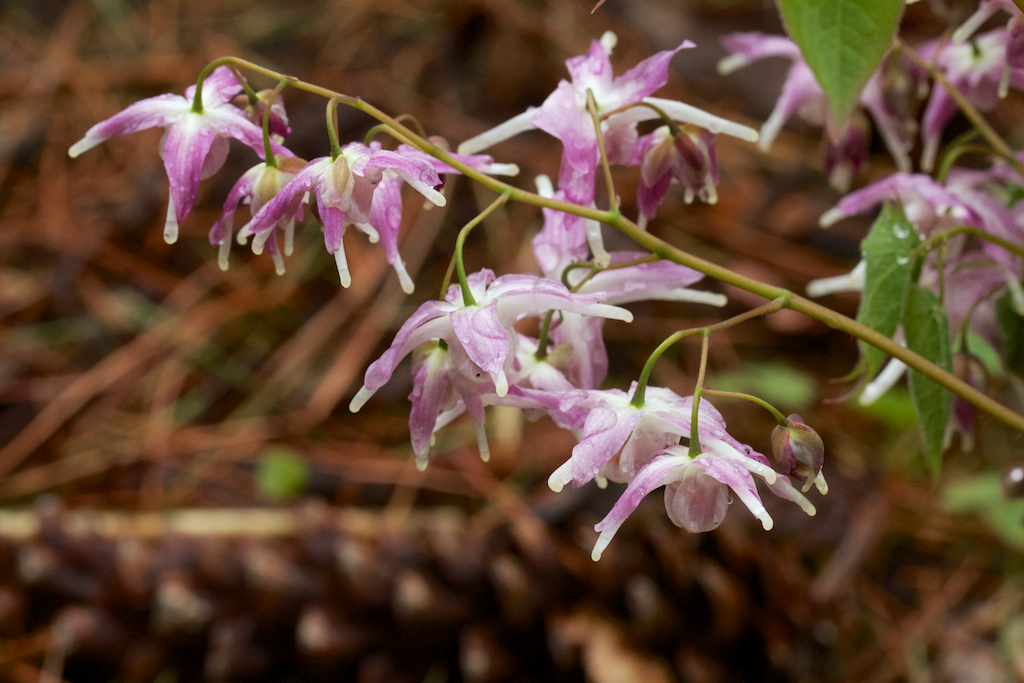 Epimedium grandiflorum 'Lilac Seedling'