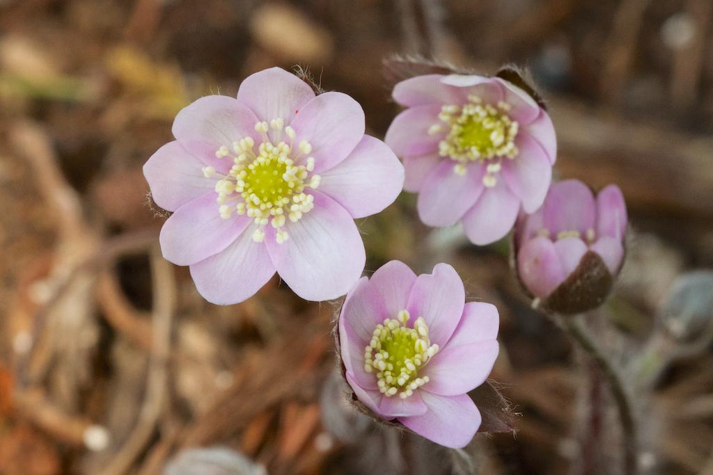 Hepatica acutiloba pink