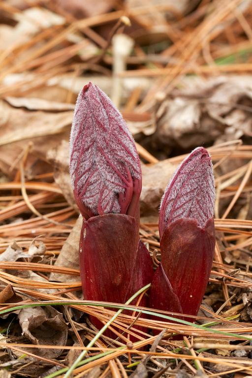 Paeonia mlokosewitschii emerging