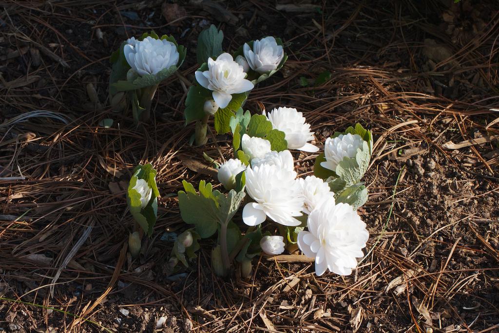 Sanguinaria canadensis 'Multiplex' spreading