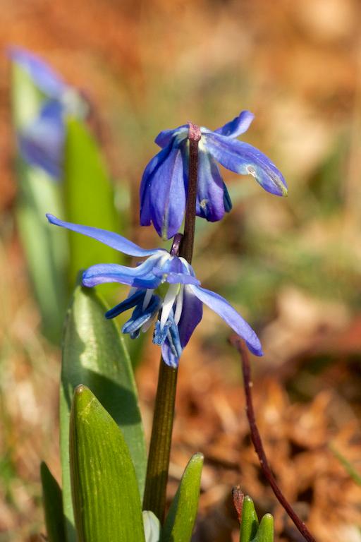 Scilla siberica 'Spring Beauty'