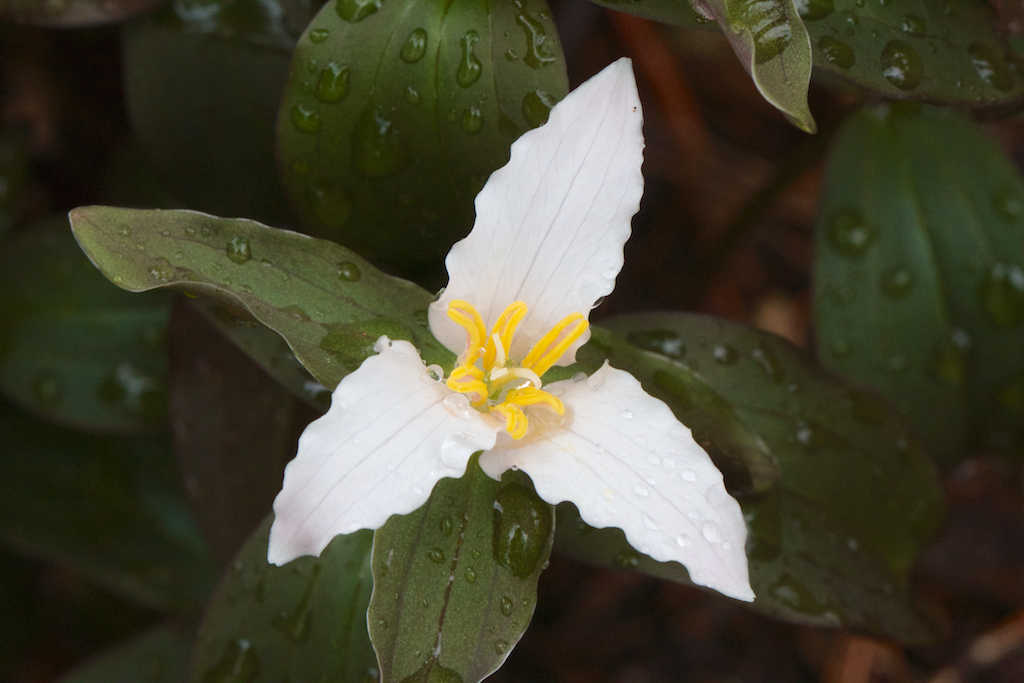 Trillium pusillum 'Roadrunner'