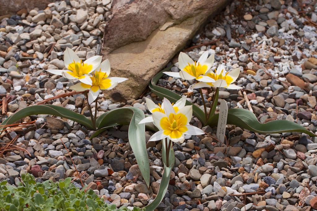 Tulipa aff. turkestanica