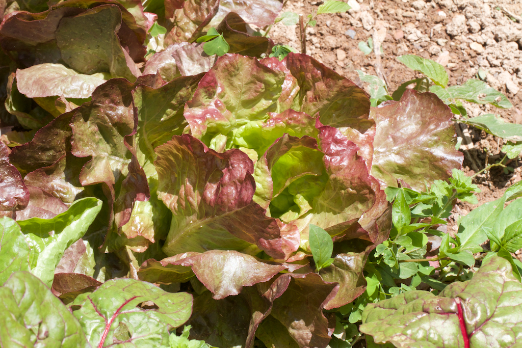 Banner year for salad crops