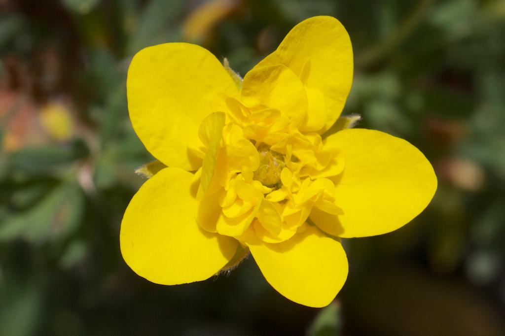 Dasiphora fruticosa 'Mount Townsend'