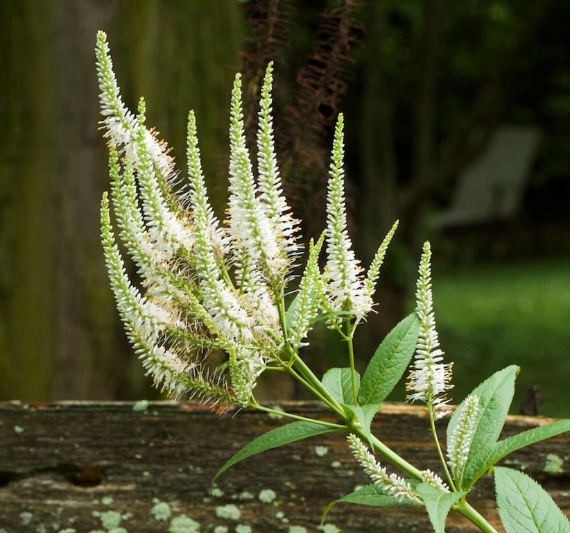 Culver Root (Veronicastrum virginicum)
