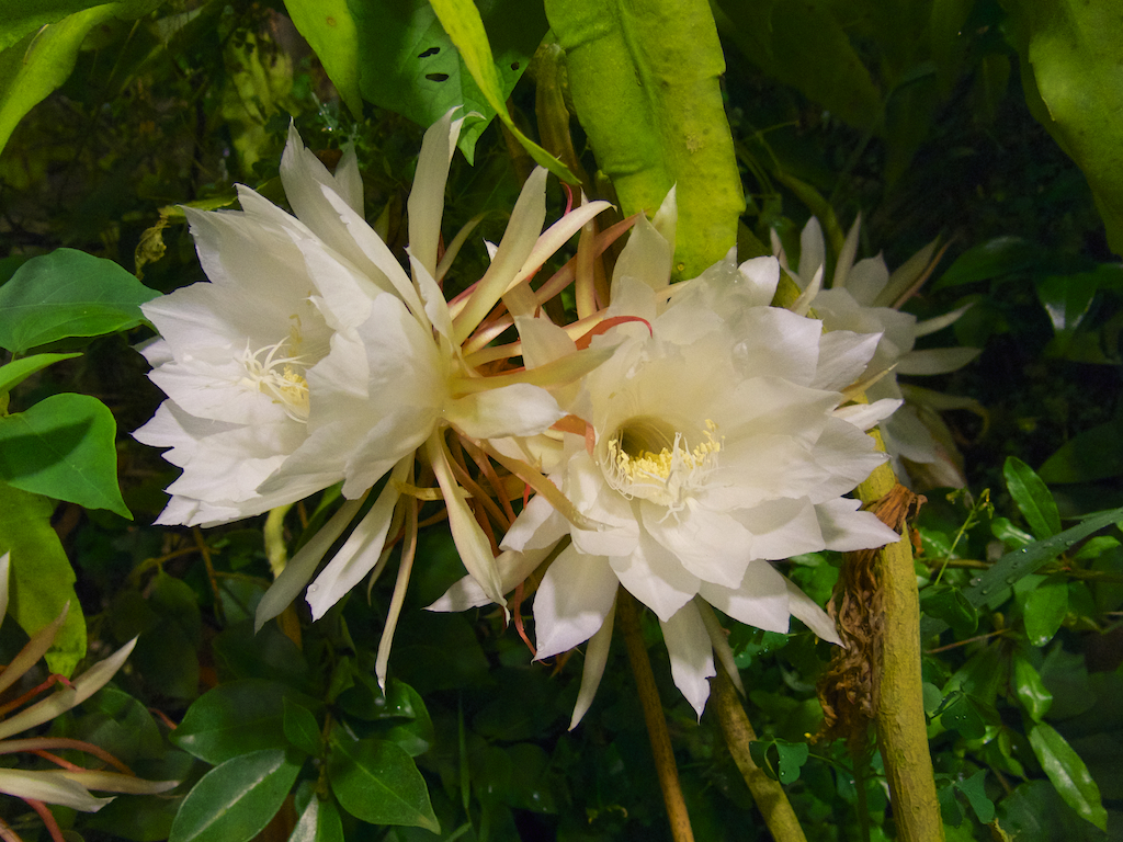 Two flowers of the Queen of the Night (Epiphyllum oxypetalum)
