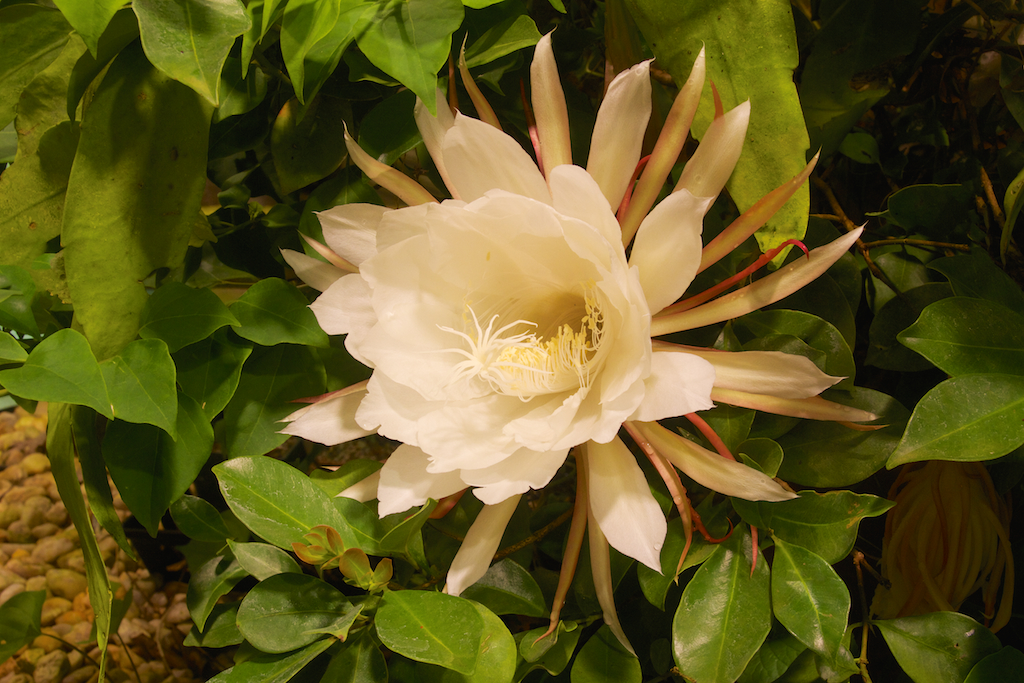 Queen of the Night (Epiphyllum oxypetalum)