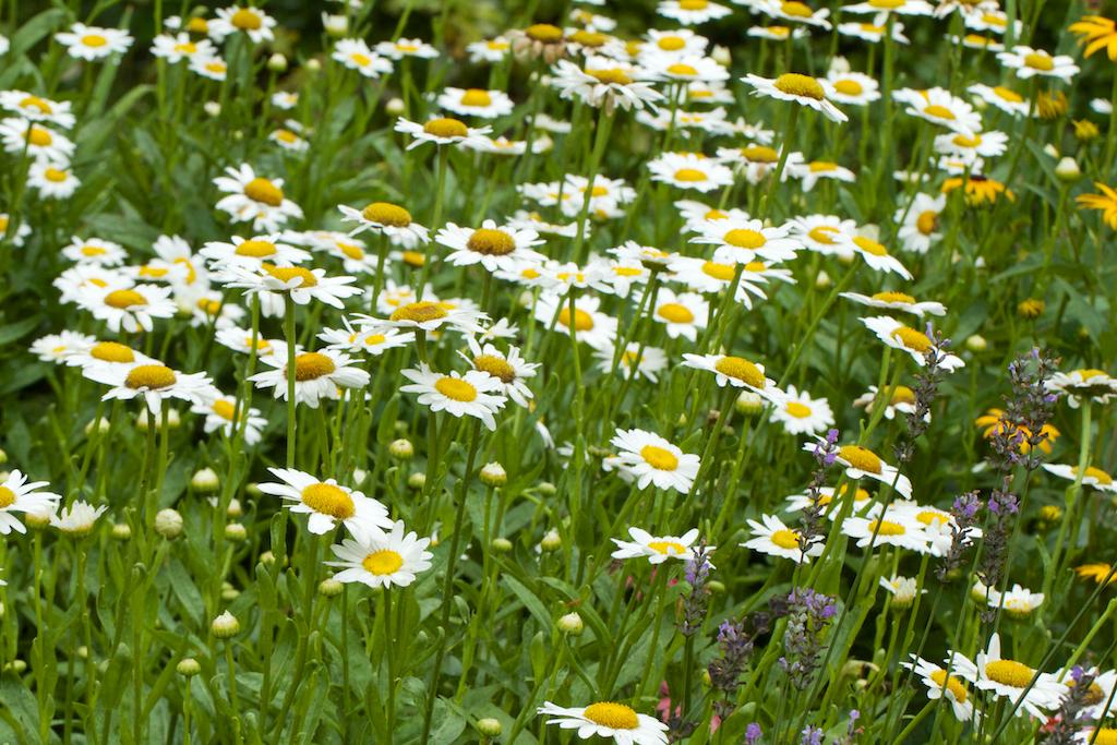Shasta daisies (Leucanthemum x superbum 'Becky'