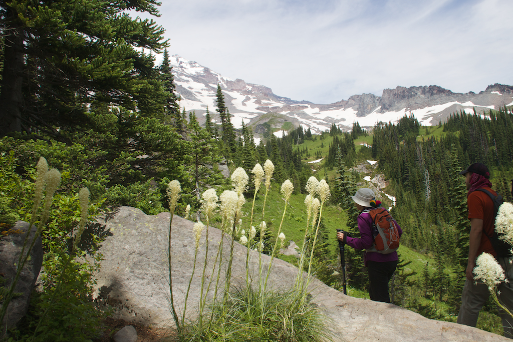 Beargrass (Xerophyllum tenax) on Mt Rainier