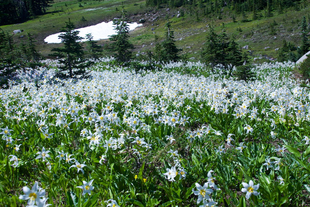 Hard to capture the profusion of Avalanche lilies