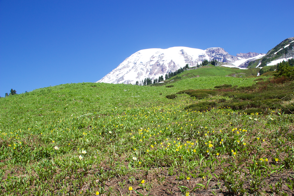 Mt Rainier with glacier lilies and pasqueflowers