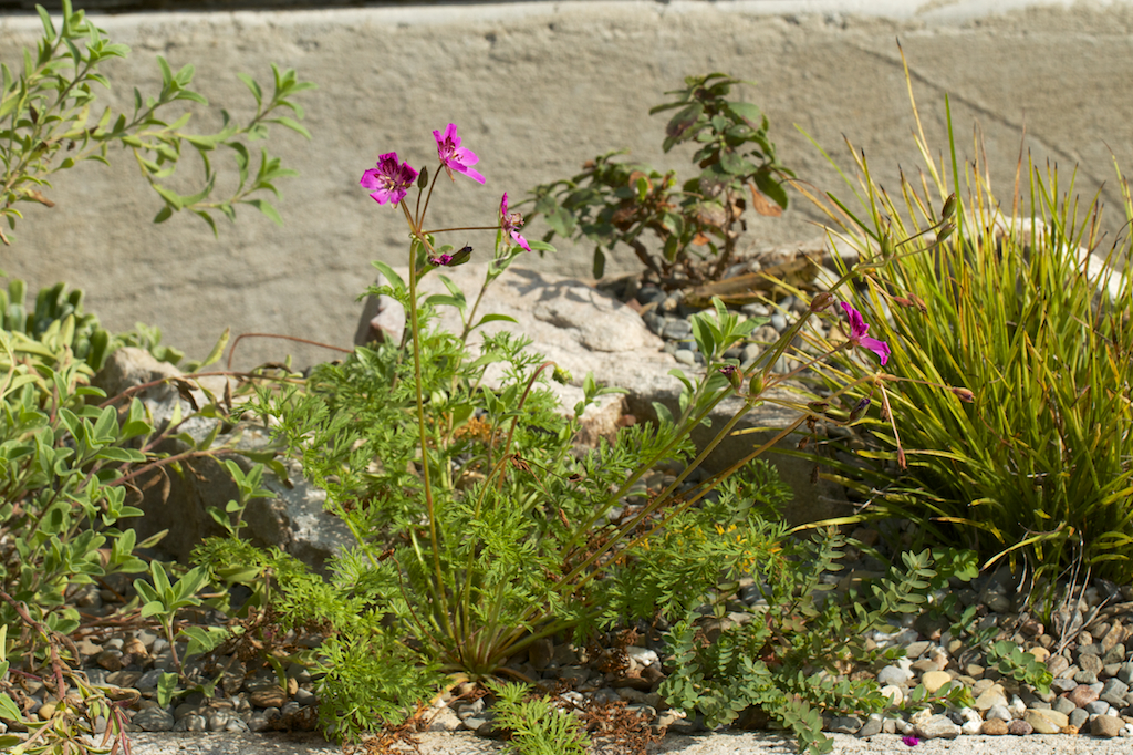 Erodium carvifolium