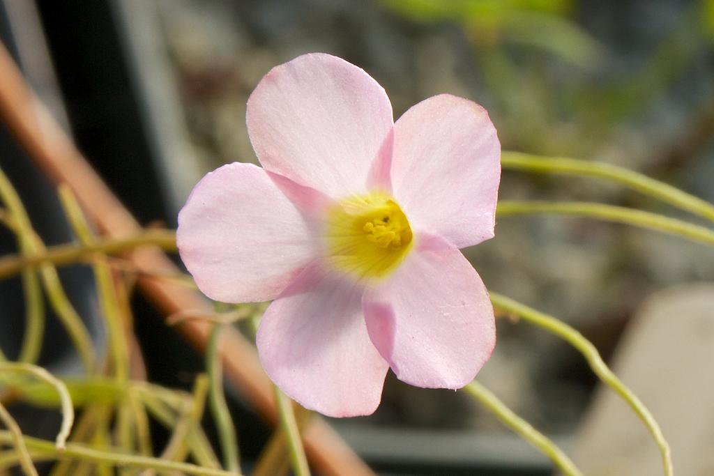Oxalis polyphylla v. heptaphylla