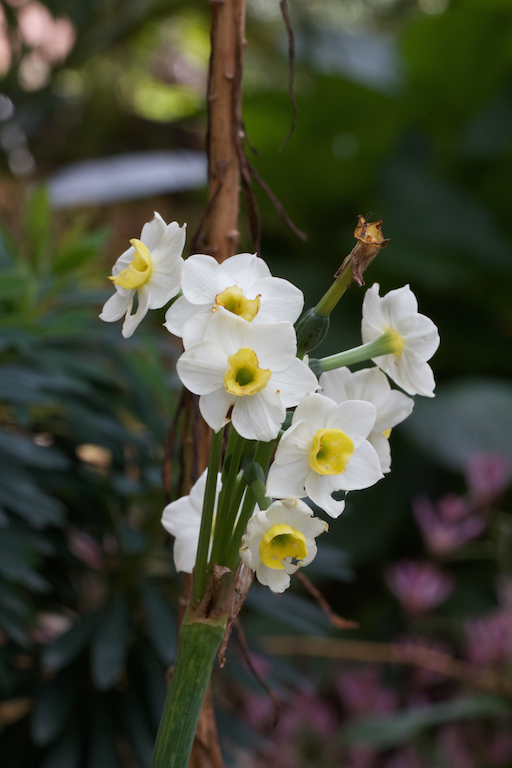 Narcissus 'Avalanche'