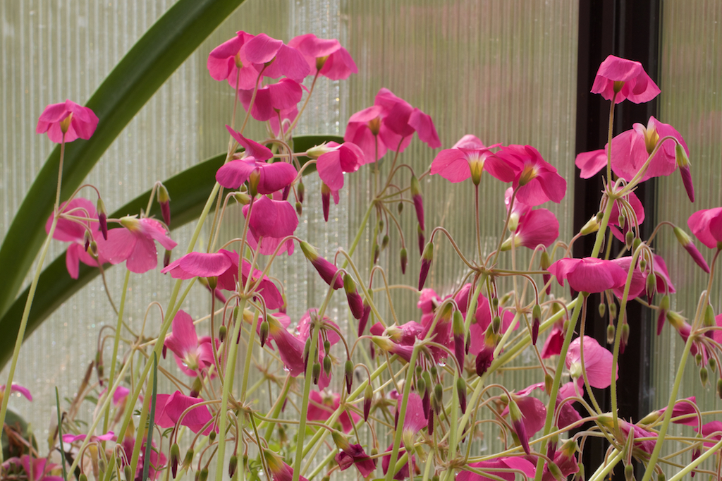 Oxalis bowiei in profusion