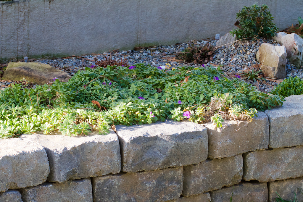 Aubretia spreading in alpine bed