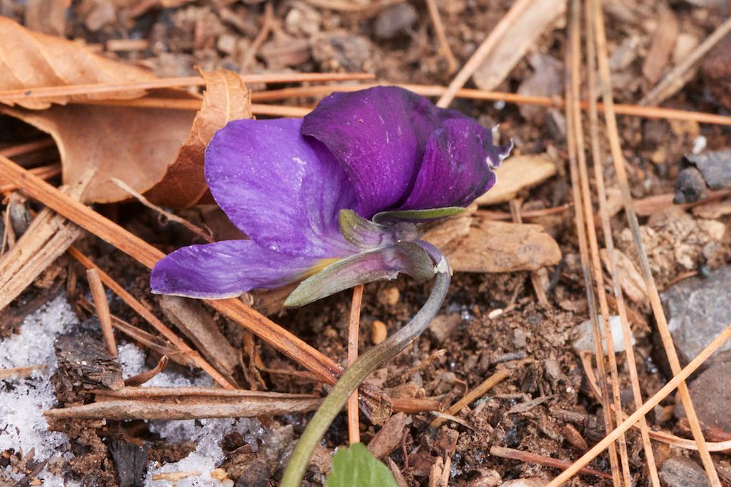 Fall planted viola