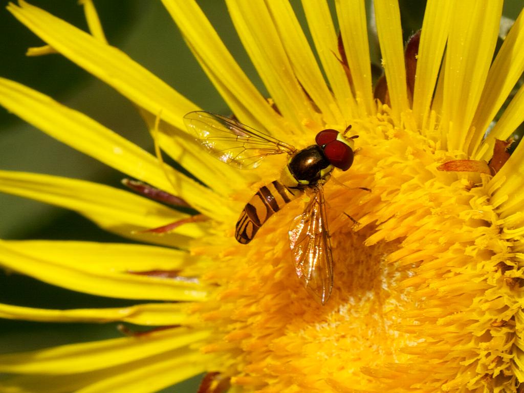 Hoverfly (Allograpta obliqua?)