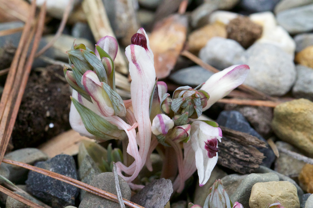 Corydalis schanginii ssp. schanginii