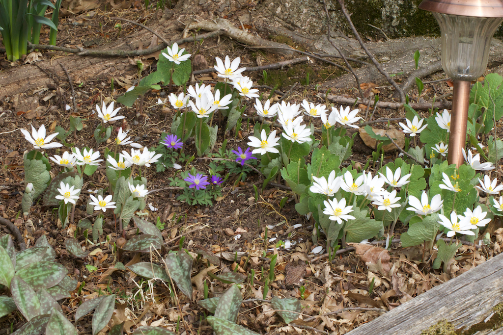 Bloodroot colony (Sanguinaria canadensis)