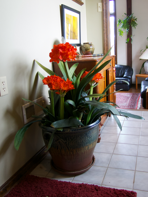 Clivia miniata makes a statement