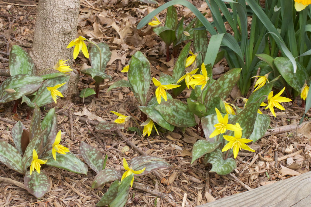 Erythronium americanum in abundance