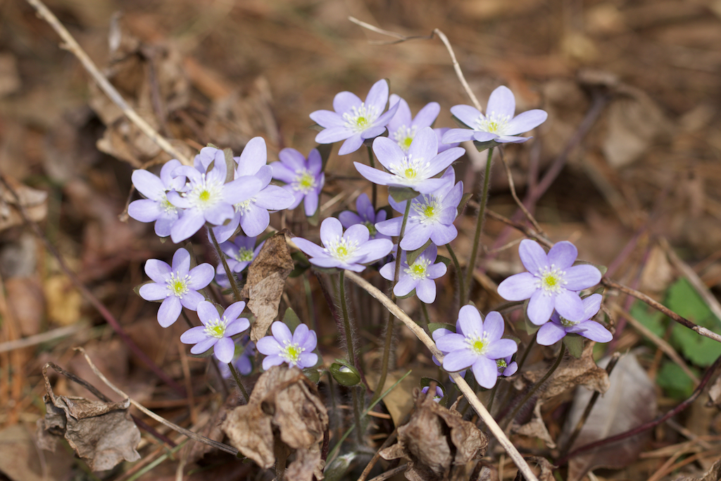 Hepatica nobilis large form blue shade