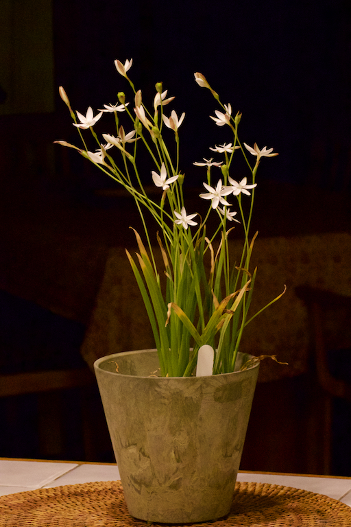 Hesperantha falcata in the house