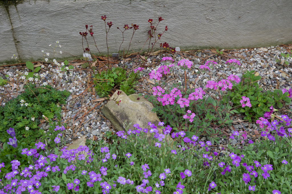 Androsace, saxifrage, campanula, aubretia, and oxalis all blooming in the alpine bed