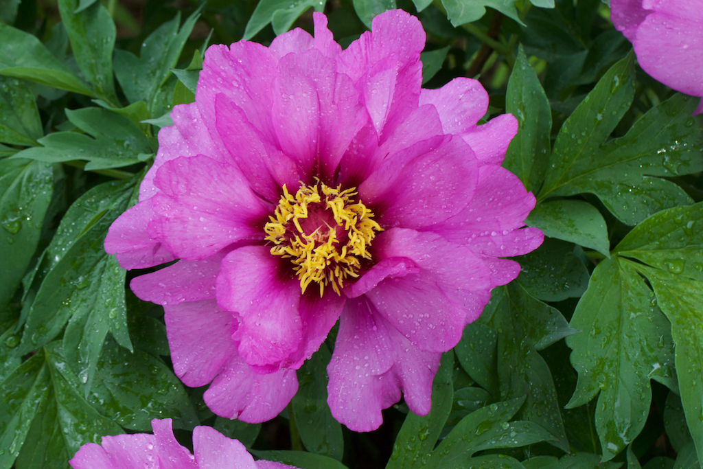 Paeonia x 'Morning Lilac' single flower