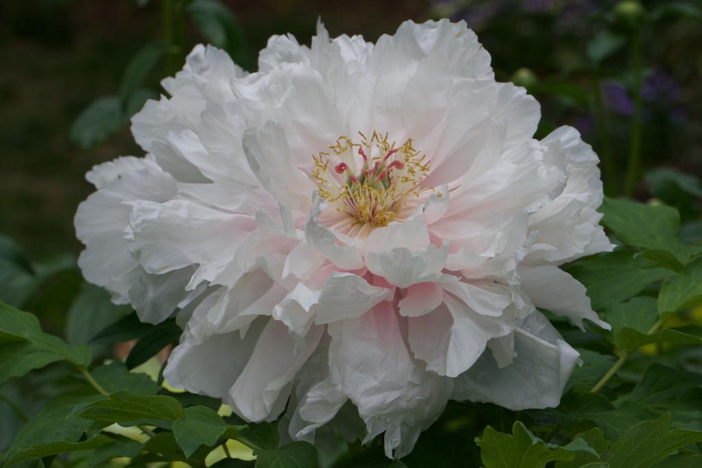 White-Pink Tree Peony